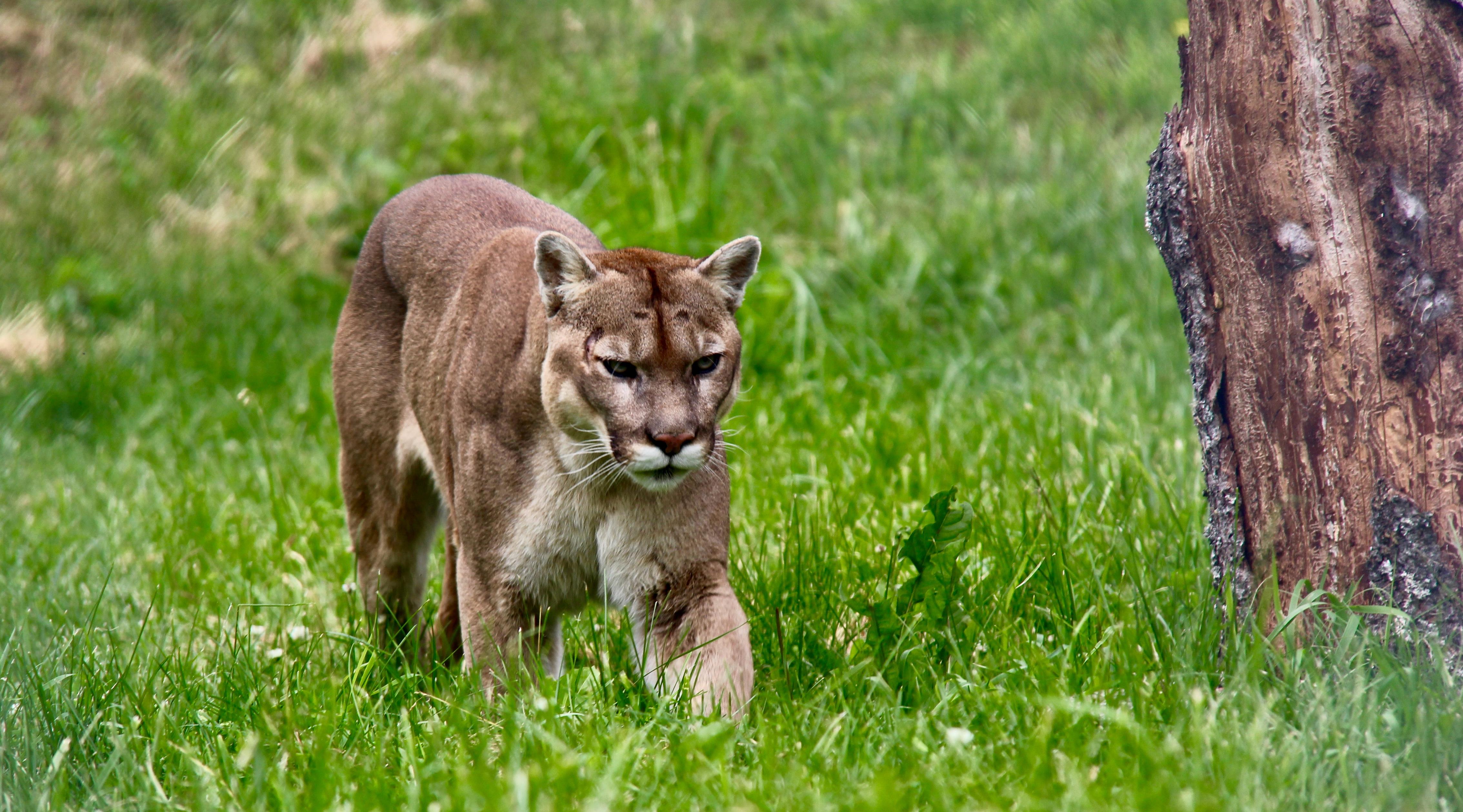 Cougar du Bioparc