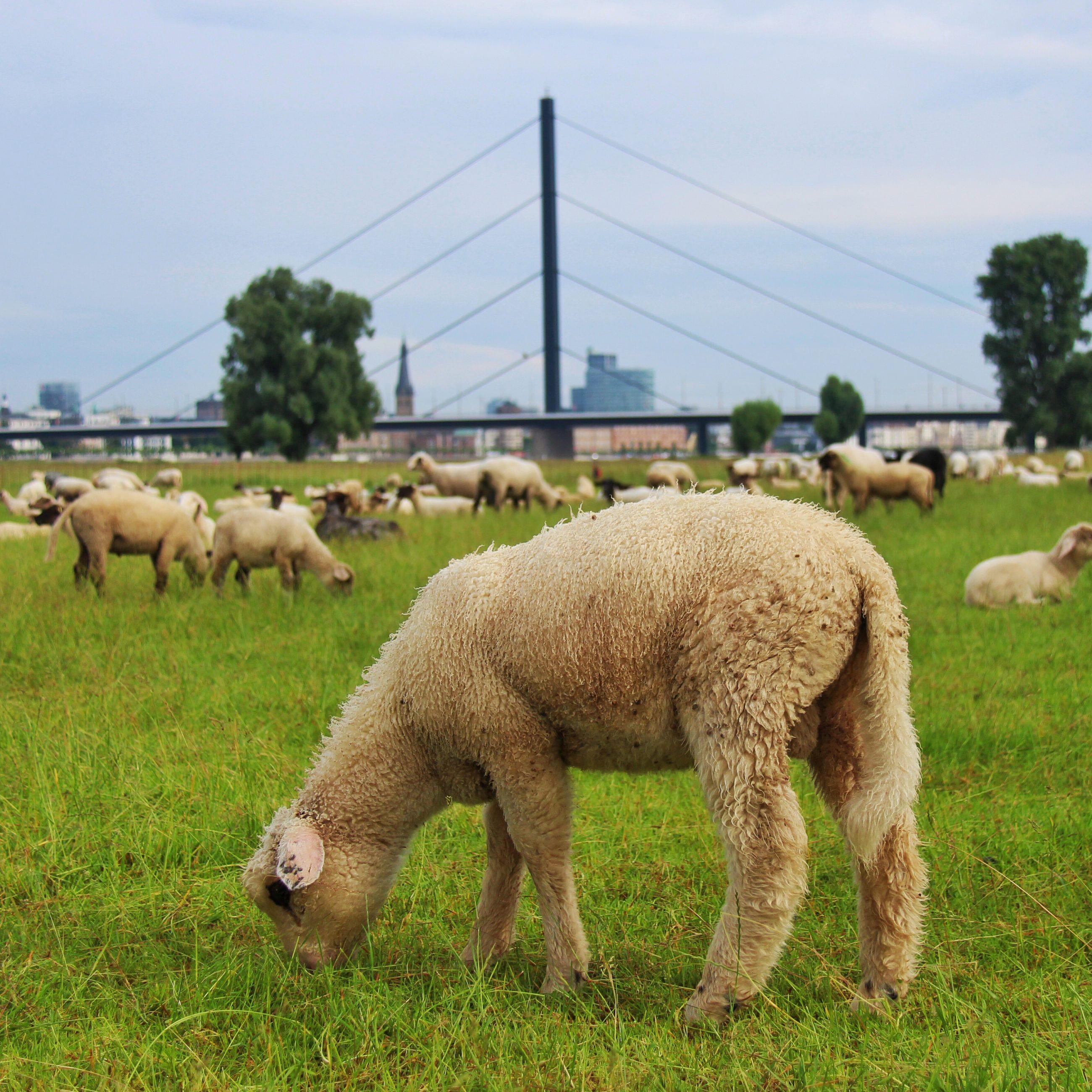 Les moutons à Düsseldorf