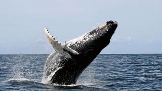 800px-humpback_stellwagen_edit